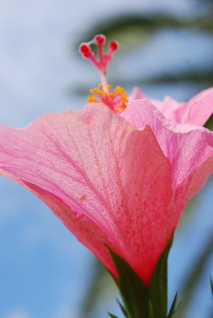 4-17-09 Pink Hibiscus