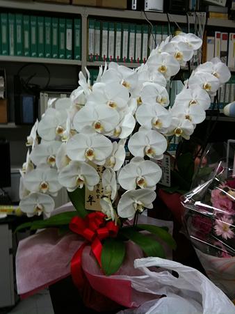 銀座の周年なみ胡蝶蘭