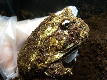 ねぼけカエル
