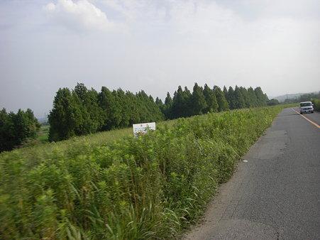 緑なメタセコイア