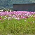 写真: コスモス畑