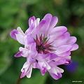 写真: 紫雲英