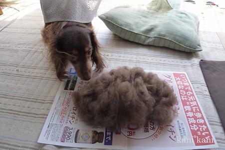 ランのポヨ毛をスキました