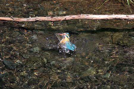 2012.05.11 和泉川 カワセミ 水浴び
