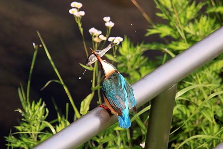 2012.05.18 和泉川 カワセミ 儀式