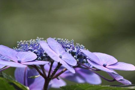 2009.07.18 四季の森 玉紫陽花