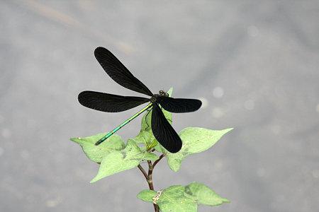 2009.08.01 羽黒トンボ♂