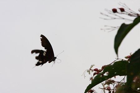 2009.08.23 和泉川 クサキにモンキアゲハ