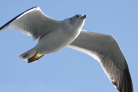 2009.10.11 駿河湾 ウミネコ 飛行