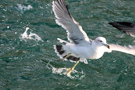 2009.10.11 駿河湾 ウミネコ 離水