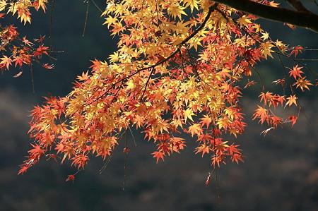 2010.12.01 大池公園 橙葉