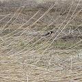 北海道野鳥会(詐3
