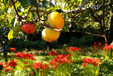 柿の実と・・彼岸花・・