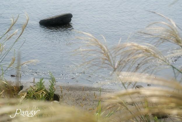 ススキ咲く海辺・・