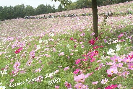 昭和記念公園 コスモスの丘・・3