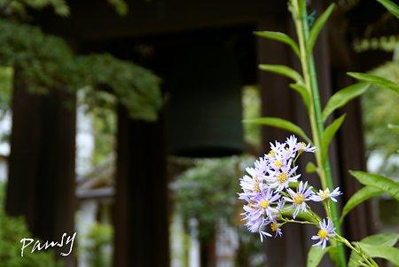 紫苑咲く寺院・・2