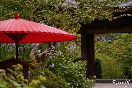 紫苑が彩る赤い傘・・