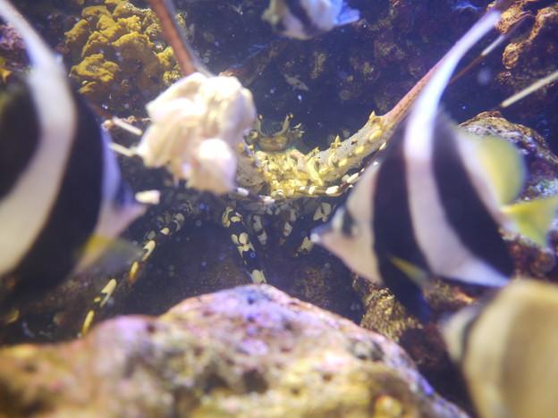 777r-ニシキエビへの給餌を横取りする魚たち