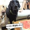 Photos: お詫びのスイカ