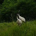 写真: 丹頂鶴のつがい090803-481
