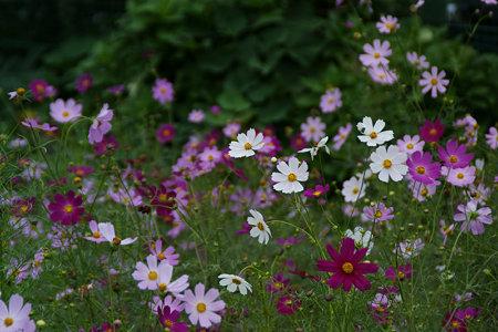 秋、コスモスの花が風に揺れる!(090912)