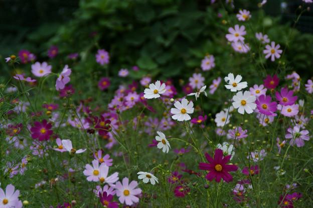 Photos: 秋、コスモスの花が風に揺れる!(090912)