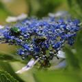 虫と紫陽花