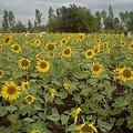 Photos: 【タイ】ひまわり列車|Sunflower Train 2008 [07]|ひまわり畑