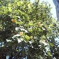 Photos: ゆりの木というそうです。素敵な花を咲かせていました。高貴な色と形に一目惚れ。