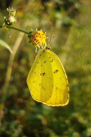 黄色の蝶が~