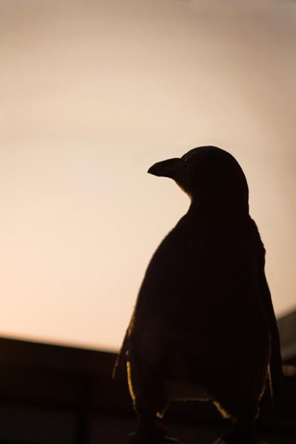夕陽に向かうペンギン