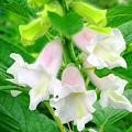 Photos: 白く芳しく咲く、胡麻の花