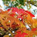 写真: イロハモミジに秋の色