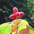 写真: 完熟、秋の実、花水木