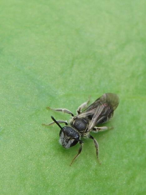 ヒメハナバチの一種2