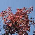 Photos: モミジバフウの紅葉
