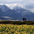 比良山系と菜の花