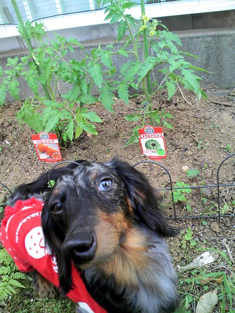 トマト…咲いてきたよ~。