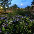 夕暮れの公園のアジサイ