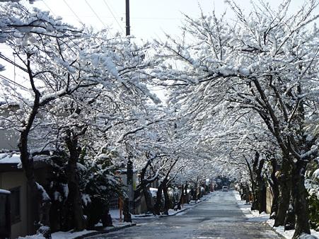 白い桜並木