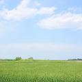 <荒川右岸*麦と雲>