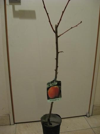 桃の苗木キターなう