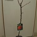 写真: 桃の苗木キターなう