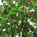 桜が咲いた後には・・・瑞々しい実がなり候。