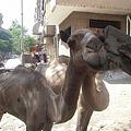 Photos: カイロ市内の珍しいラクダ